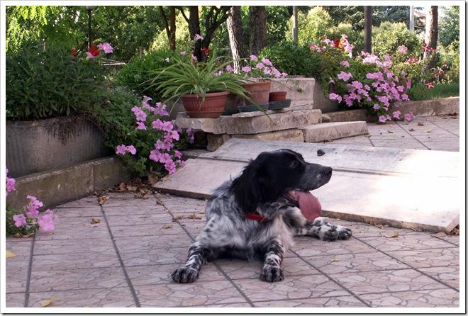 zara - il cane di stesio54